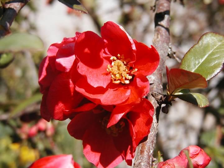 Arbuste de jardin for Arbuste de jardin